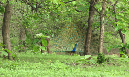 Peacock in Gir National Park