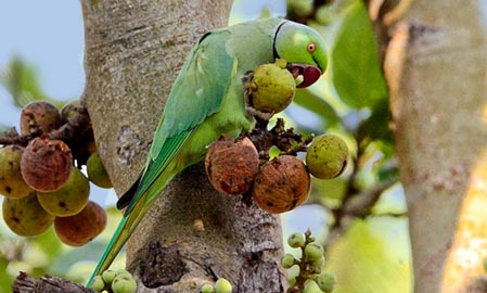 Rose Ring Parakeet