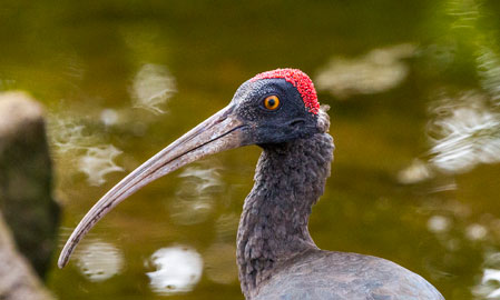 Red Headed Ibis