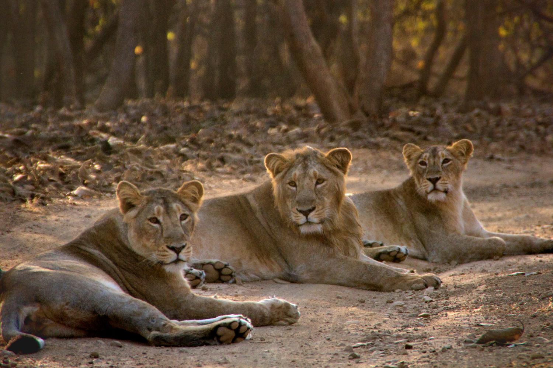 Photo Gallery: Sasan Gir Lion | Asiatic Lion | Indian Lion