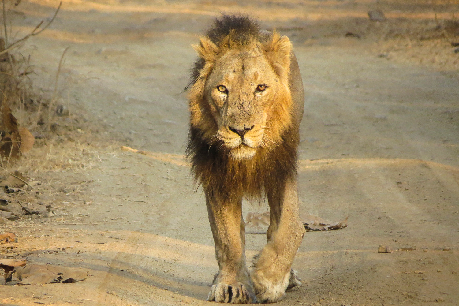 The Lions of Gir