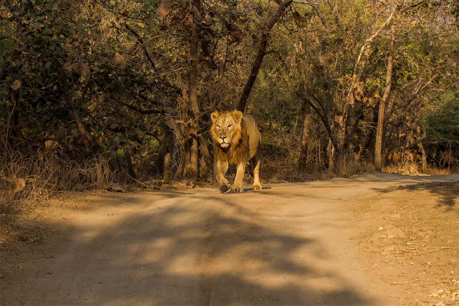 Lion of Gir