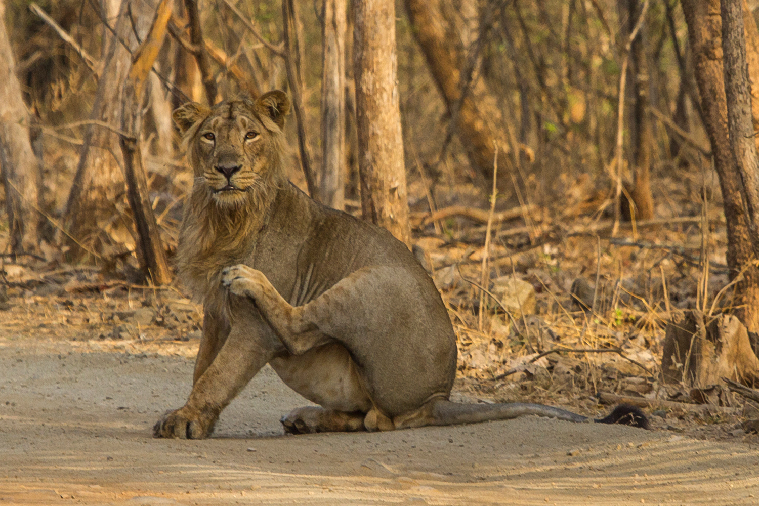 Lion in Gir
