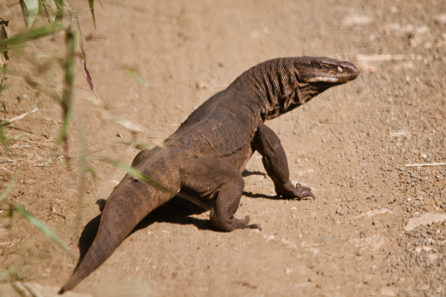 Common Indian Monitor Lizard